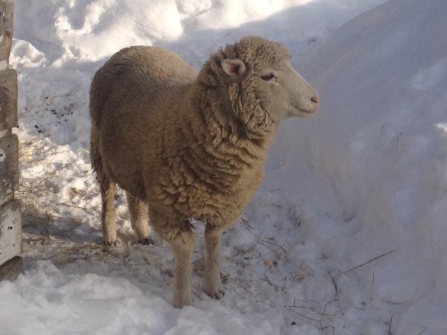 Annabel the sheep