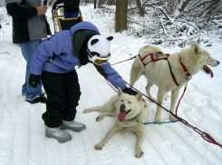dog sled dogs 2013