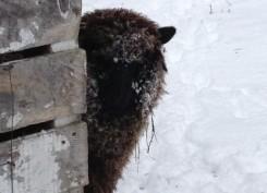 Snow farm animal at Vermont lodging