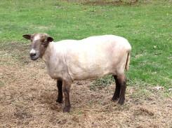 2012 shayla sheared
