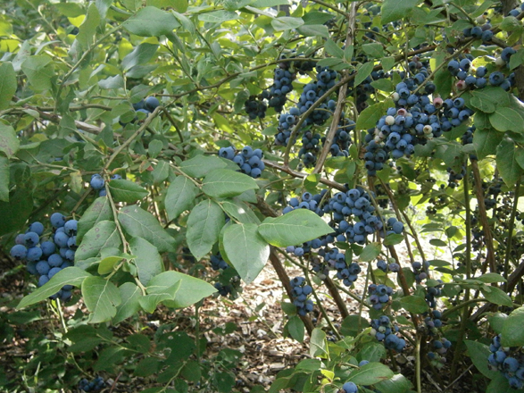blueberry picking in Weathersfield
