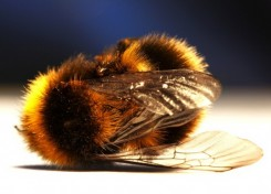 Vermont Zombie Honey Bee killed by Parasitic Fly