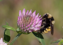 Vermont Bumblebee on Red clover