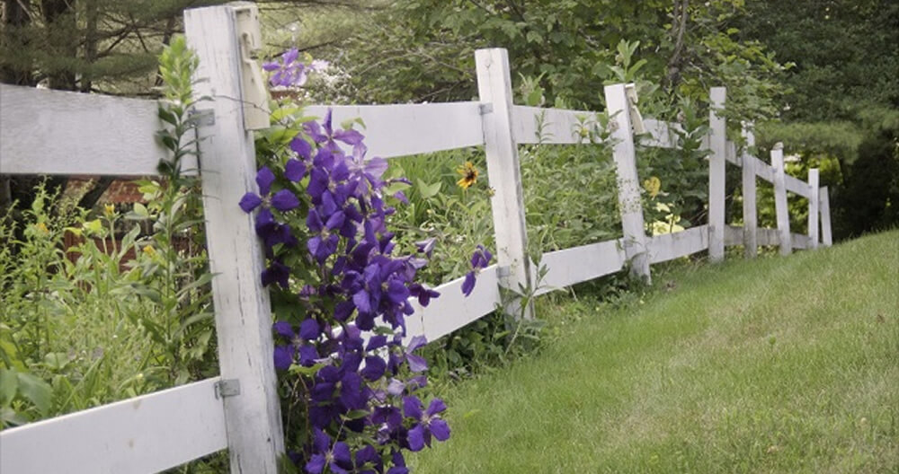 a cascade of vibrant purple flowers tumbling over a rustic white rail fence