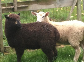 one dark brown sheep and one white sheep standing in front of fence on grassy field