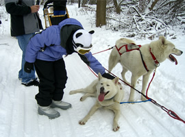 young girl in purple snow coat with snowpants and snowboots and panda bear snow hat petting one of two white dogs harnessed to sled in a snowy winterscape