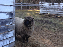 ld roughly painted clapboard structure and rail fence with very woolly light brown sheep with black face looking around corner. Head and face of sheep is covered with strands of hay.